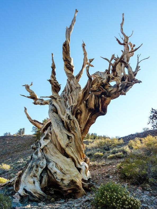 bristlecone-pines-4[6]